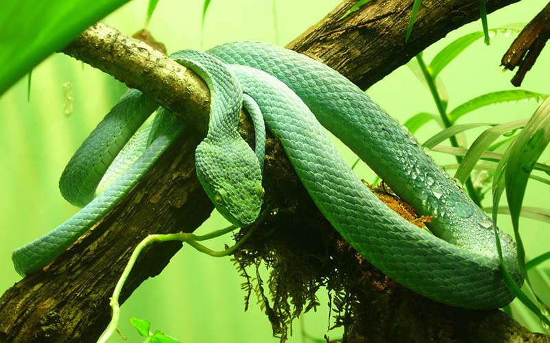 Palm Viper Snake