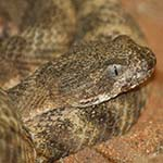 Tiger Rattlesnake
